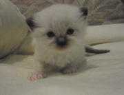 Courtney's newest family member - a ragdoll kitten!